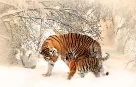 tiger-tiger-baby-tigerfamile-young-39629.jpeg